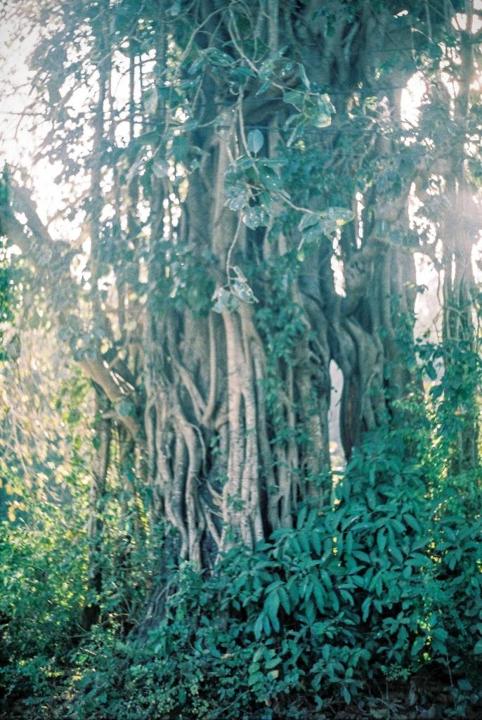 Giant Trees in Goa